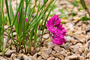 Pink lily leek (Allium oreophilum) from Central Asia (in cultivation).  -  Chris Mattison