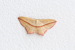 Blood-vein moth, (Timandra comae), on inside wall of house, Monmouthshire, Wales.  -  Chris Mattison
