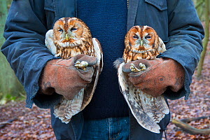 Tawny owls (Stix aluco) two held during bird ringing session. Part of a 60 year long-term study to monitor raptor nests in a 3,400 hectare area of coastal dunes. Near Amsterdam, The Netherlands. Febru...  -  Edwin Giesbers