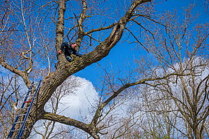 Bird ringer and researcher Henk-Jan Koning climbing tree to investigate nest in cavity. Part of 60 year long-term study run by Fred Koning to monitor raptor nests in a 3,400 hectare area of coastal du...  -  Edwin Giesbers