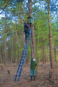 Father and son, Fred and Henk-Jan Koning blocking hole of Tawny owl (Strix aluco) nest box before ringing and weighing birds. Part of 60 year long-term study to monitor raptor nests in a 3,400 hectare...  -  Edwin Giesbers