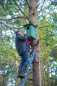 Bird ringer Henk-Jan Koning taking Tawny owl (Strix aluco) chick out of nest before ringing. Part of 60 year long-term study led by his father Fred to monitor raptor nests in a 3,400 hectare area of c...  -  Edwin Giesbers