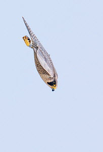 Peregrine (Falco peregrinus) diving whilst hunting. The Netherlands. May.  -  Edwin Giesbers