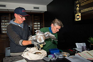 Peregrine falcon (Falco peregrinus) chick aged 4-5 weeks having measurements taken during bird ringing session inside hotel, peregrines nest on balcony. Utrecht, The Netherlands. May 2018.  -  Edwin Giesbers