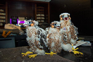 Peregrine falcon (Falco peregrinus), three chicks aged 4-5 weeks during ringing session inside hotel, peregrines nest on balcony. Utrecht, The Netherlands. April 2019.  -  Edwin Giesbers