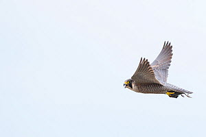 Peregrine falcon (Falco peregrinus) in flight with Bird prey in talons. The Netherlands. May.  -  Edwin Giesbers