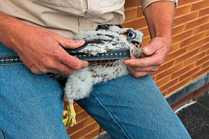 Bird ringer measuring wings of Peregrine falcon (Falco peregrinus) chick aged 4-5 weeks during ringing session. Utrecht, The Netherlands. April 2019.  -  Edwin Giesbers