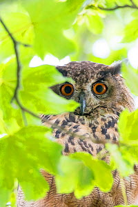 Eurasian eagle owl (Bubo bubo) perched in tree, viewed through leaves, portrait. The Netherlands. July.  -  Edwin Giesbers