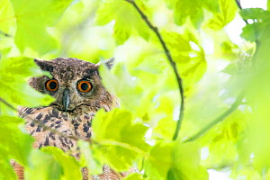 Eurasian eagle owl (Bubo bubo) in tree, surrounded by leaves. The Netherlands. July.  -  Edwin Giesbers