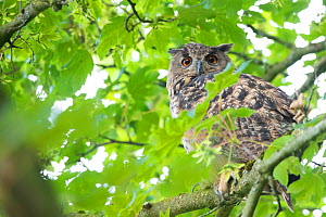 Eurasian eagle owl (Bubo bubo) perched in tree, viewed through leaves. The Netherlands. July.  -  Edwin Giesbers