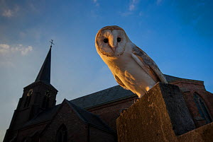 Barn owl (Tyto alba) perched on gravestone in front of church, in evening light. The Netherlands. Captive.  -  Edwin Giesbers