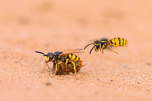 European beewolf (Philanthus triangulum) and honey bee prey with common wasp (Vespula vulgaris) about to steal the prey. Suffolk, UK. August.  -  Oscar Dewhurst