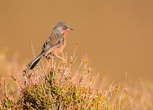 Dartford warbler (Sylvia undata) male perched on top of heather. Suffolk, UK. May.  -  Oscar Dewhurst