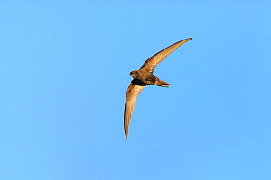 Common swift (Apus apus) in flight. Suffolk, UK. May.  -  Oscar Dewhurst