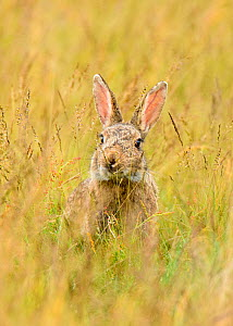 European rabbit (Oryctolagus cuniculus) feeding in long grass. Suffolk, UK. May.  -  Oscar Dewhurst