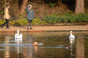 A domestic dog chases a common pochard (Aythya ferina) through the water, pursued by a pair of mute swans (Cygnus olor), with the dog's owner looking on from the path. Hyde Park, London. January  -  Oscar Dewhurst