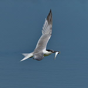 Sandwich tern (Thalasseus sandvicensis) in flight with fish, Noirmoutier Island, Vendee, France, July. Small repro only  -  Loic Poidevin