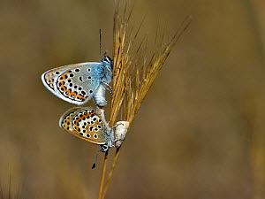 Common blue butterfly (Polyommatus) pair mating on grass, Vendee,France,July  -  Loic Poidevin