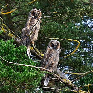 Long-eared owl (Asio otus) on a branch, Vendeen Marsh, Vendee ,France, August. Small repro only  -  Loic Poidevin