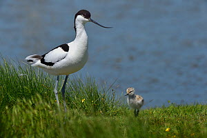Pied avocet (Recurvirostra avocetta) with chick, Vendee, France, May.  -  Loic Poidevin