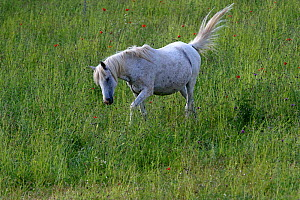Purebred Arabian horse, grey mare walking in a flower meadow with poppies (papaver rhoeas) in bloom, Grands Causses regional Natural ParkLozere, France, June  -  Pascal Pittorino