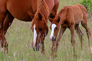 Purebred Arabian , mare chestnut and bay foal, age one month, feeding on a meadow, Grands Causses regional Natural Park Causse, Lozere, France, June  -  Pascal Pittorino