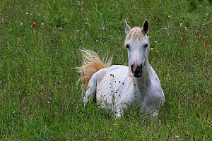 Purebred Arabian horse, grey mare lying down, in a flower meadow with poppies (papaver rhoeas) in bloom, Grands Causses Regional Natural Park, Lozere, France, June  -  Pascal Pittorino