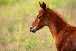 Portrait of purebred Arabian horse, one month bay foal standing in meadow , Grands Causses Regional Natural Park, Lozere, France, June  -  Pascal Pittorino
