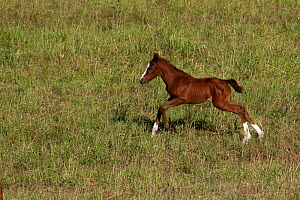 Purebred Arabian, one day bay foal staggering on a meadow, Lozere, Grands Causses Regional Natural Park, France, June  -  Pascal Pittorino