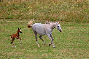 Anglo Arabian horse (Equuq caballus) grey mare and her bay foal, age one week, galloping on a meadow, Grands Causses Regional Natural Park, Lozere, France, July  -  Pascal Pittorino