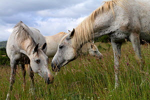 Half blood Arabian and purebred Arabian grey horses, feeding in a meadow, Grands Causses Regional Natural Park, Lozere, France, June  -  Pascal Pittorino