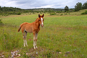 Purebred Arabian horse (Equus caballus) bay foal, age one month, standing in a meadow between the legs, Grands Causses Regional Natural Park, Lozere, France, June  -  Pascal Pittorino