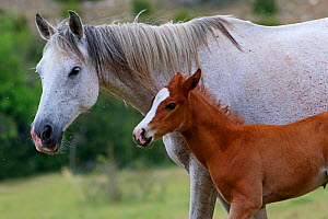 French saddle horse, grey mare and her bay foal, age three-weeks, standing in meadow, Grands Causses regional Natural Park, lozere, France, June  -  Pascal Pittorino