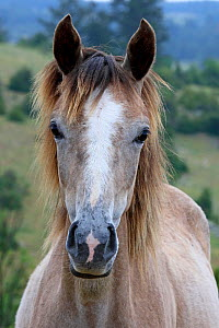 Portrait of a purebred red roan yearling horse, Grands Causses Regional Natural Park, Lozere, France, June  -  Pascal Pittorino