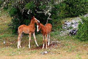 Two purebred arabian one month bay foals, playing with a tree branch, Grands Causses regional Natural Park, Lozere, France, June  -  Pascal Pittorino