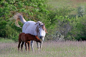Half blood arab horse, grey mare and bay foal, ages three-weeks feeding on flowers in meadow, Grands Causses regional Natural Park, Lozere, France, May  -  Pascal Pittorino