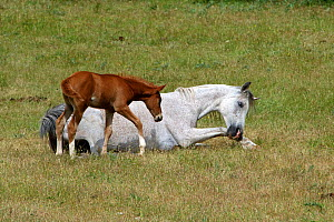 French saddle horse, grey mare with brown foal age three-weeks, Grands Causses regional Natural Park, lozere France, June  -  Pascal Pittorino