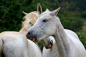 Two purebred grey Arabian horses, grooming each other, Lozere, Grands Causses regional Natural Park, France, June  -  Pascal Pittorino