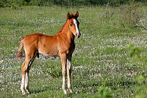 Purebred Arabian , three-week bay foal standing in meadow, Grands Causses regional Natural Park, Lozere, France, May  -  Pascal Pittorino
