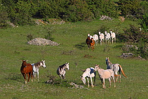 A herd of Purebred Arab, Anglo-Arab and Half blood Arab, walking and standing ina meadow near the forest, Grands Causses regional Natural Park, Lozere, France, August  -  Pascal Pittorino