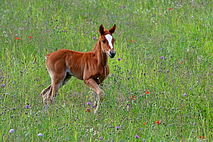 Arabian horse, one month bay foal standing in a flower meadow , Grands Causses regional Natural Park, Lozere, France, June  -  Pascal Pittorino