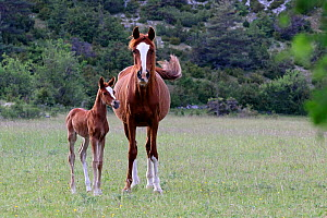 Purebred Arabian horse, Chestnut mare and her bay foal standing in a meadow, Grands Causses regional Natural Park Lozere, France, May  -  Pascal Pittorino