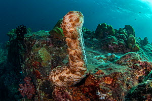 Graeff's sea cucumbers (Bohadschia graeffei) extend their bodies to spawn on top of coral bommie, releasing gametes into the flowing current at Hin Daeng Pinnacle, Mu Koh Lanta National Park, Krabi Pr...  -  Sirachai Arunrugstitchai