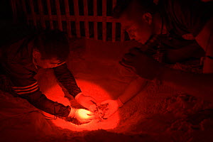 Under dim red light, marine biologist and park officials dig up the nest of a Leatherback sea turtle (Dermochelys coriacea) uncovering the hatchlings that were stuck in hard sand, prior to them into t...  -  Sirachai Arunrugstichai
