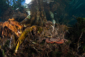Freshwater crab species (unidentified), burrows into the substrate in the root system of a tree at Tha Pom Khlong Song Nam, Krabi Province, Thailand  -  Sirachai Arunrugstichai