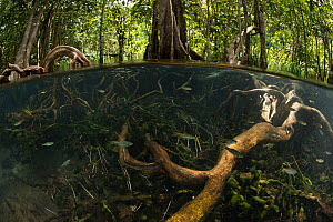 Freshwater spring in shade from thick forest canopy at Tha Pom Khlong Song Nam, with school of Rasbora (Rasbora sp.) and vegetations can be seen below the surface, Krabi Province, Thailand.  -  Sirachai Arunrugstitchai