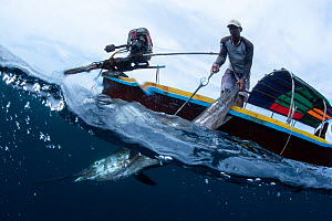 Indo-Pacific sailfish (Istiophorus platypterus) pulled onto a longtail boat with a hook by a fisherman, Satun Province, Thailand  -  Sirachai Arunrugstichai