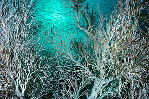 Large colonies of Gorgonian sea fan (Melithea sp.) with an unusual white colouration, not related to coral bleaching. With a school of Bigeye snapper (Lutjanus lutjanus) at Hin Khao, Andaman coast, Sa...  -  Sirachai Arunrugstichai