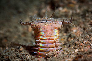 Bobbit worm extending its head from its burrow in the sandy seabed, waiting to ambush prey, Satun province, Thailand  -  Sirachai Arunrugstichai