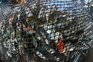Variety of marine life from the Andaman Sea are seen struggling in the nets from a purse seiner, Krabi Province, Thailand, December 2015.  -  Sirachai Arunrugstitchai